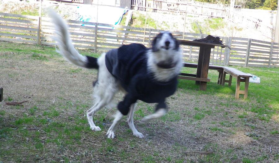「ボルゾイのKu〜君」鹿児島県 - 犬の里親募集(30702)