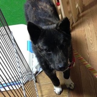 人懐こく攻撃性ゼロ!甲斐犬MIX♀5,6ヶ月