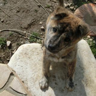 甲斐犬MIX仔犬生後2か月から3か月位