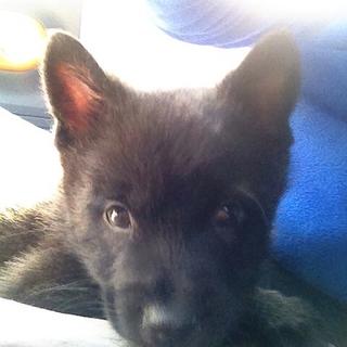 純血甲斐犬2ヶ月!