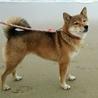 利口な胡麻毛の柴犬 サムネイル2