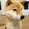 小さめの柴犬、2才!!