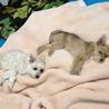 小型犬の姉妹2頭を一緒に飼育して下さる里親様募集