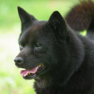 飼いやすい甲斐犬 マリちゃん9歳