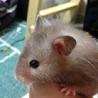 ゴールデンハムスター【セーブル長毛 8ヶ月 メス】