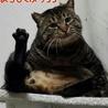 仮名 魔人ぶぅ 8kg超えの巨大猫