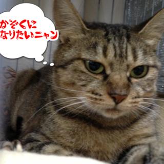 福島第一原発被害猫 仮名 じゃこちゃん メス