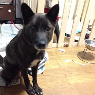 甲斐犬MIX子育て終えた母犬