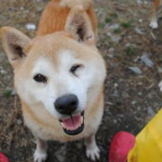 柴犬 エニフちゃん