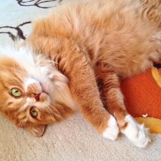 のんびりまったりおだやか♂長毛ライオン丸のポンくん