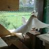 純白鳩:鑑賞用純白鳩ジャーマンビーティホーマー