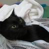 美形の黒猫