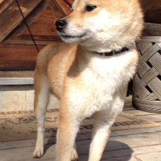 豆柴犬!シャイな女の子です。