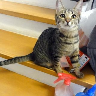 小柄なキジトラのメス猫、甘えん坊です