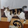 小柄な三毛猫、ボブテイルで人懐っこいです サムネイル2