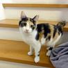 小柄な三毛猫、ボブテイルで人懐っこいです サムネイル4