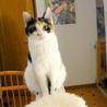 小柄な三毛猫、ボブテイルで人懐っこいです サムネイル3