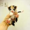小柄な三毛猫、ボブテイルで人懐っこいです サムネイル7