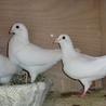 純白レース鳩