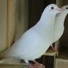 純白レース鳩です