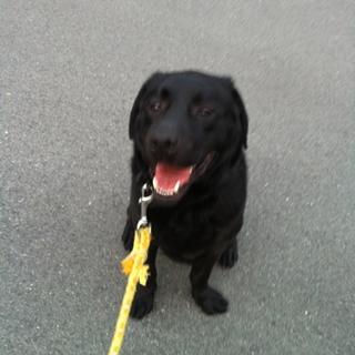 犬オス 2009年5月9日生まれの黒ラブの力丸☆