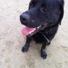 犬オス 2009年5月9日生まれの黒ラブの力丸☆ サムネイル4