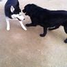 犬オス 2009年5月9日生まれの黒ラブの力丸☆ サムネイル3