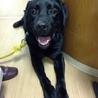 犬オス 2009年5月9日生まれの黒ラブの力丸☆ サムネイル5