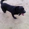 犬オス 2009年5月9日生まれの黒ラブの力丸☆ サムネイル6