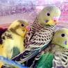 セキセイインコ幼鳥3羽