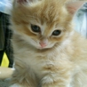 茶トラ♂子猫です