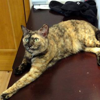 サビ柄のメス猫、熱烈な甘えん坊です