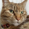 福島第一原発被害猫 仮名タイソン オス サムネイル2