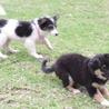 母犬と放浪して頑張った 賢い3か月子犬達♀♂♂