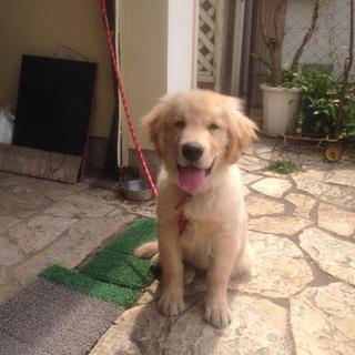 ゴールデンレトリバー男の子4ヶ月
