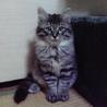 2月10日生まれのふわふわ長毛のトラ猫ちゃん♂