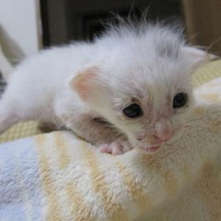 きれいな白猫(ポイントつき)まつくん 授乳中