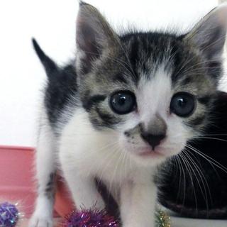 ◆K14-003/3兄弟キジしろ♂赤ちゃん猫