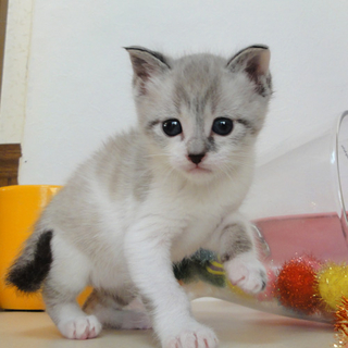 ◆K14-001/3兄弟キジしろ♂赤ちゃん猫