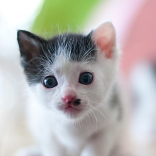 ◆K14-003/3兄弟黒白♀赤ちゃん猫