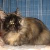 公園に捨てられた人なつっこい長毛サビ猫、ケイちゃん