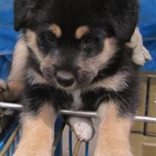 【緊急】愛護センターに収容中 mix子犬♀