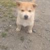 ハスキーとのミックス犬です!