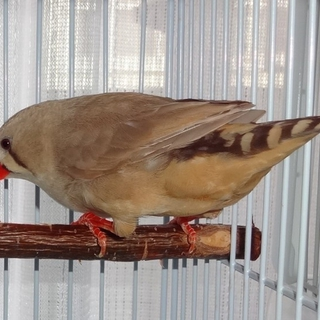 ジャンボキンカ鳥★女の子