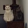 ロシアンブルーと白猫