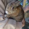 ミニウサギのオス・甘えたさん
