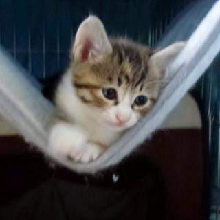 子猫 兄弟一のヤンチャっ子!仮名「コマリメちゃん」