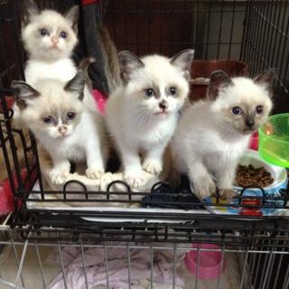 可愛い! そっくりな、シャム猫 4兄妹。