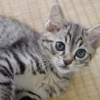 可愛いキジトラの仔猫