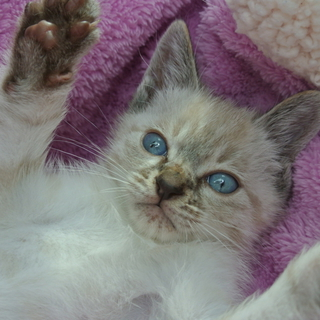 元気いっぱいシャム猫ミックスちゃん♪